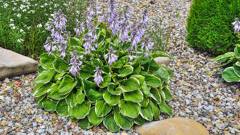 low-maintenance-perennials-alsip-hostas