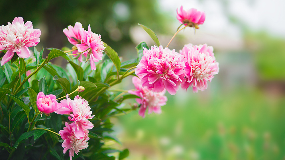 low-maintenance-perennials-alsip-peonies