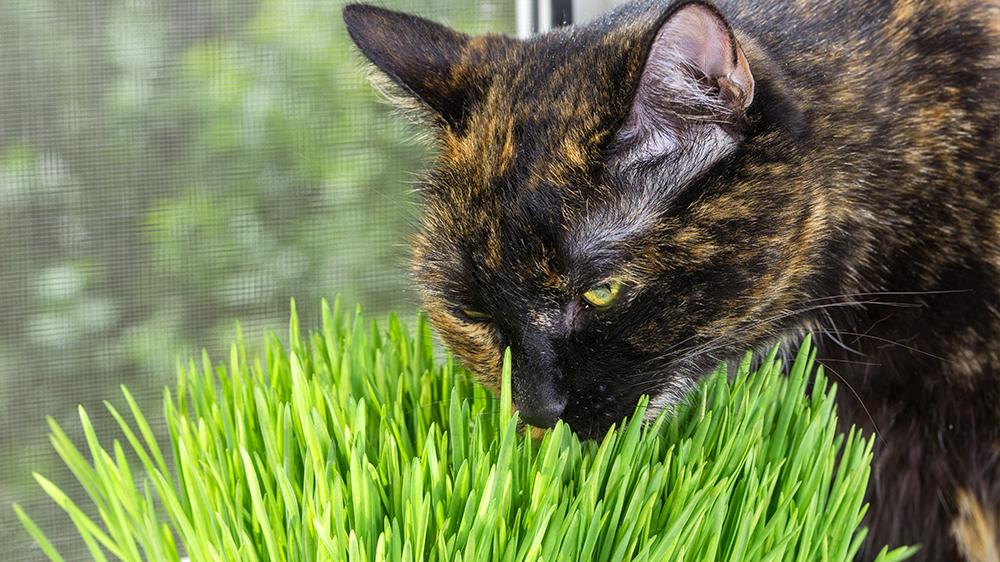 alsip-nursery-cat-approved-plants-catnip-cat-and-cat-grass