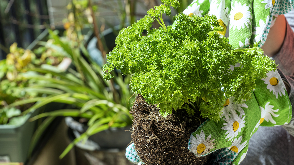 alsip-nursery-cat-approved-plants-repotting-parsley