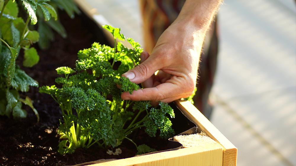 alsip-nursery-homegrown-herbs-picking-parsley