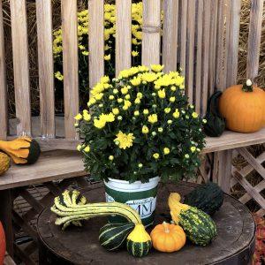 5 Yellow Garden Mum