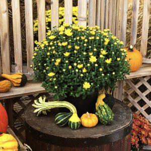 8x5 Yellow/Orange Garden Mum