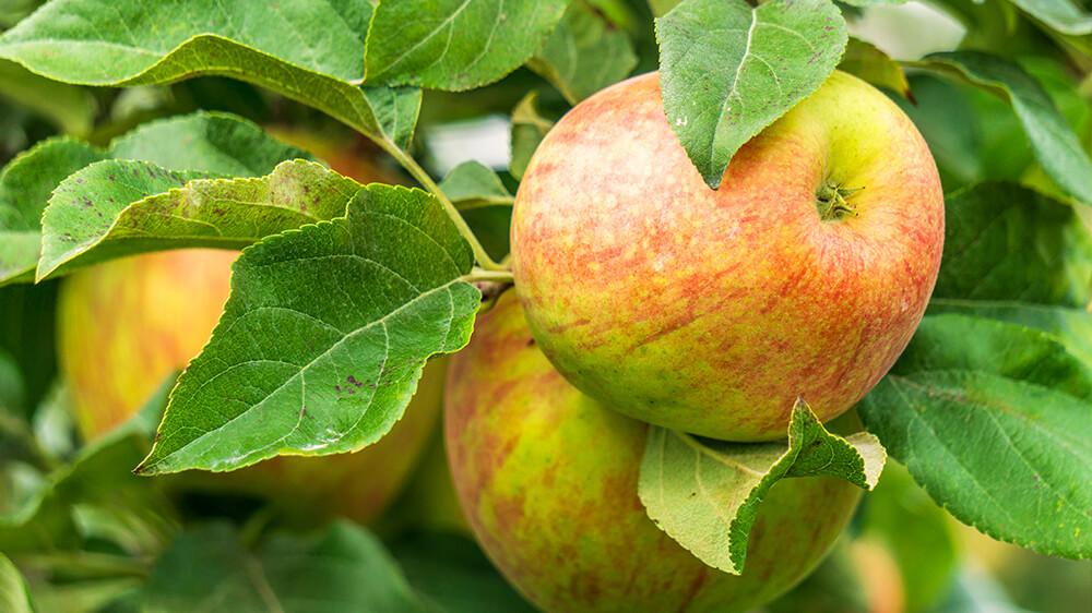 alsip-nursery-best-apple-trees-honeycrisp-apples