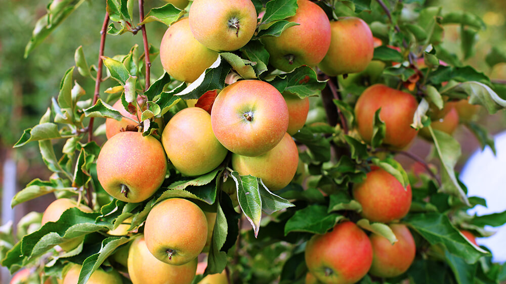 alsip-nursery-best-apple-trees-jonagold-header
