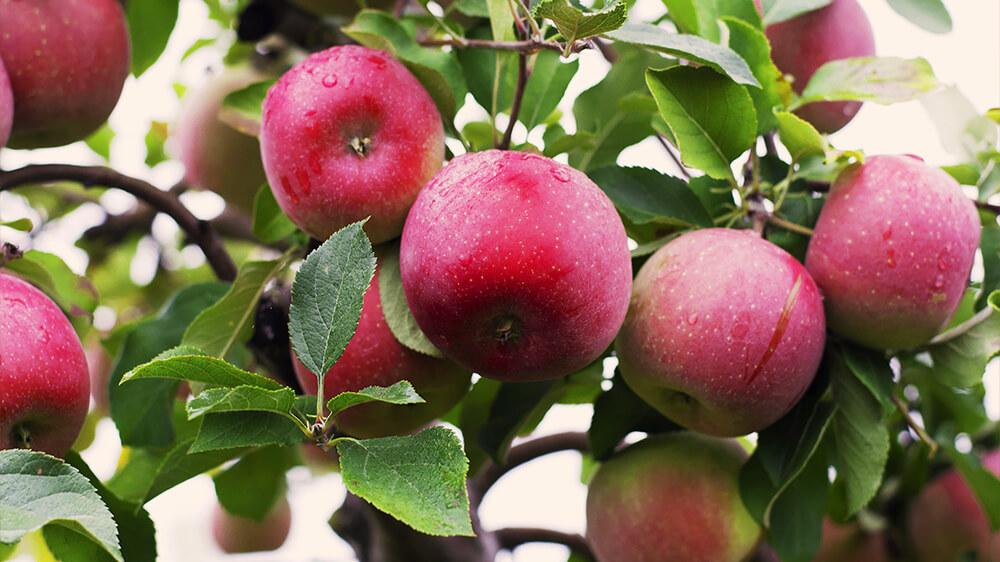 alsip-nursery-best-apple-trees-mcintosh-apple-tree