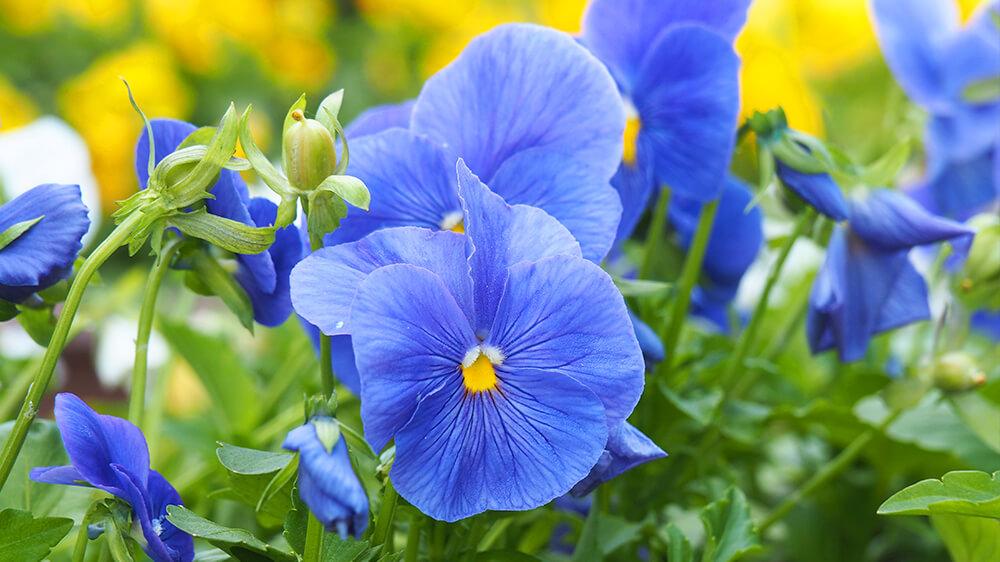 alsip-nursery-fall-flowers-planters-blue-pansies