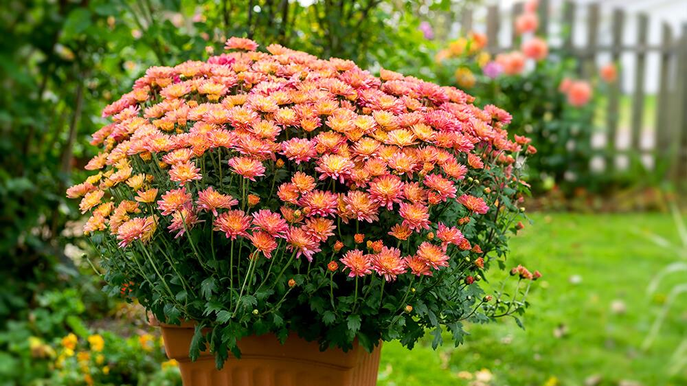 alsip-nursery-fall-flowers-planters-orange-chrysanthemums