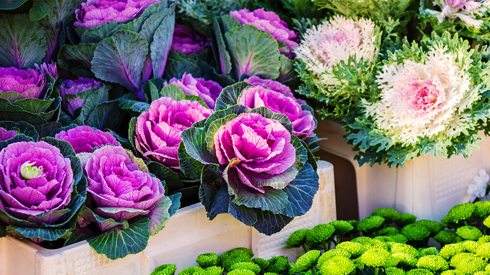 alsip-nursery-fall-flowers-planters-ornamental-cabbage