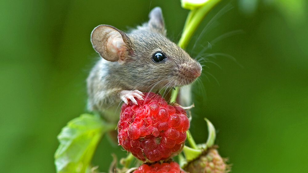 alsip-getting-rid-of-mice-safely-mouse-with-raspberry