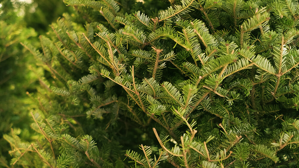 Alsip Real Christmas Tree Care evergreen pine needles close up