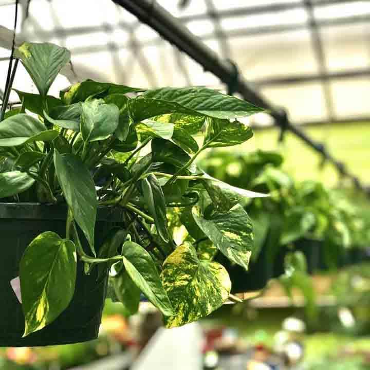 Pothos indoor houseplant.