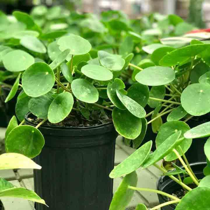 Pilea indoor houseplant.