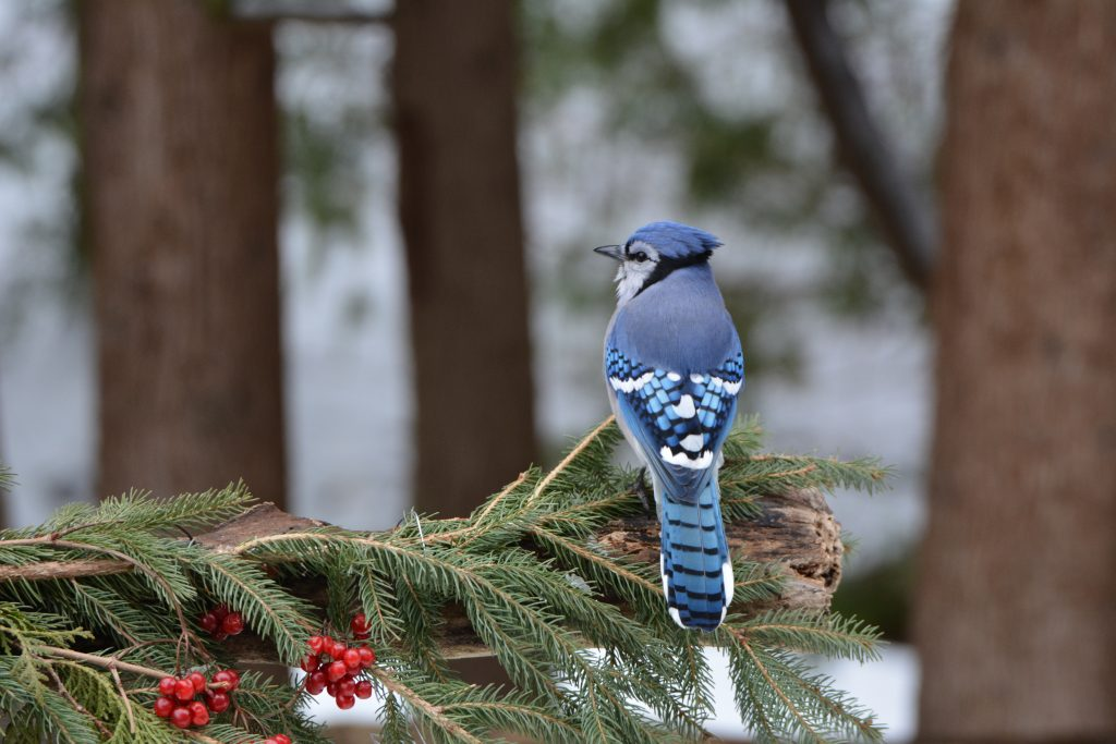 attracting-birds-to-the-winter-bluejays