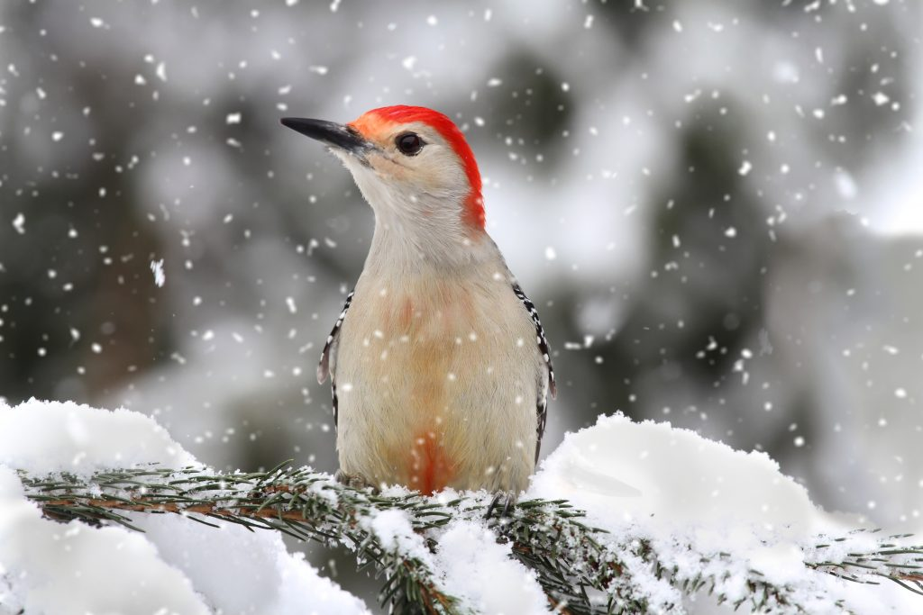 attracting-birds-to-the-winter-woodpeckers
