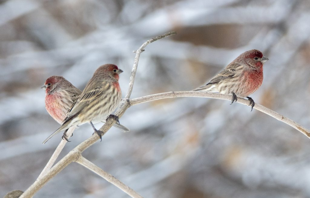 attracting-birds-to-the-winter-finches-and-chickadees