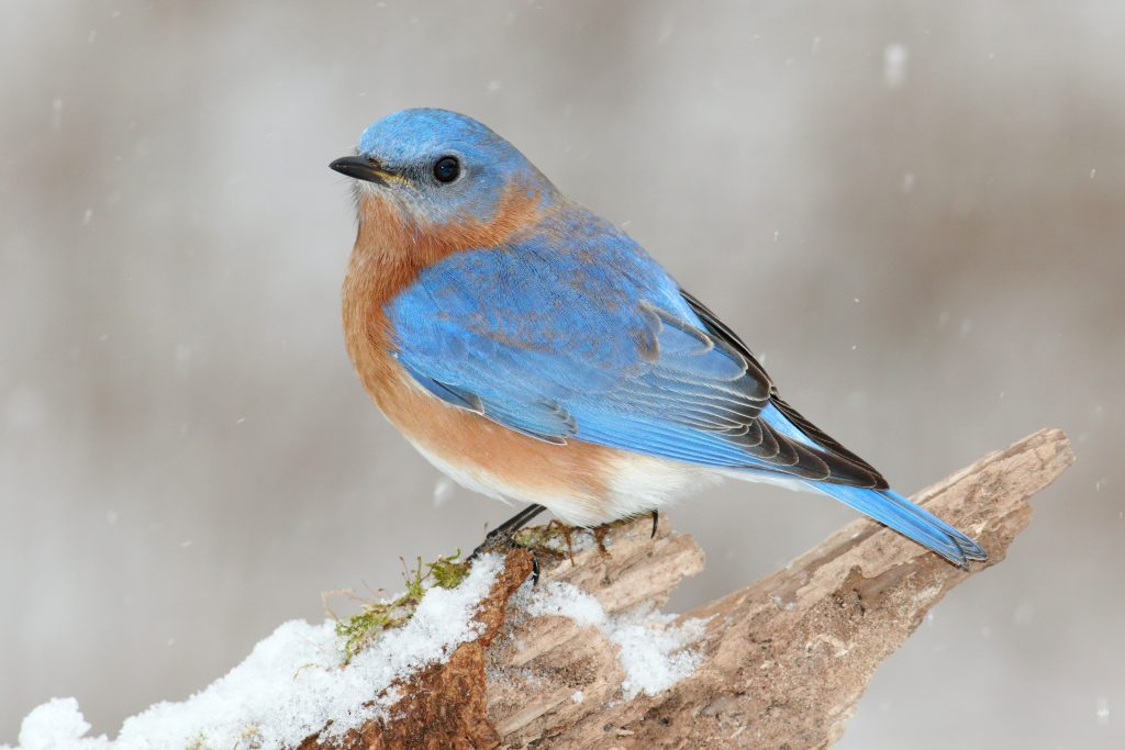 attracting-birds-to-the-winter-bluebird