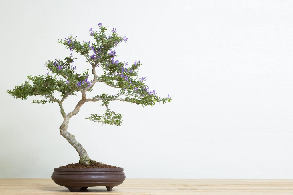 capricorn bonsai tree houseplant horoscope alsip nurseries