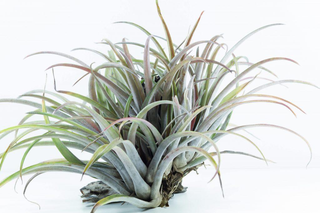 gemini air plants houseplant horoscope alsip nurseries