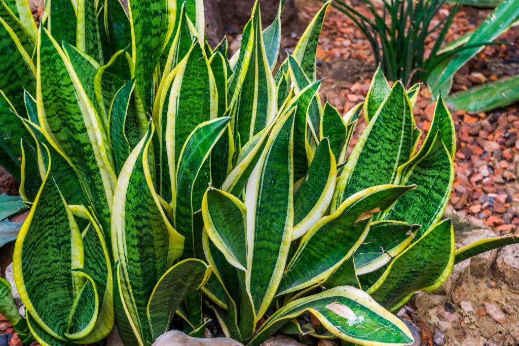 scorpio snake plant houseplant horoscope alsip nurseries
