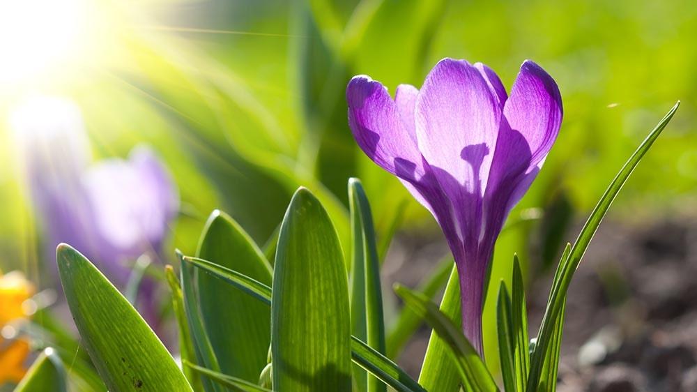 gorgeous crocus flower blooming under the sun in the spring time alsip nurseries