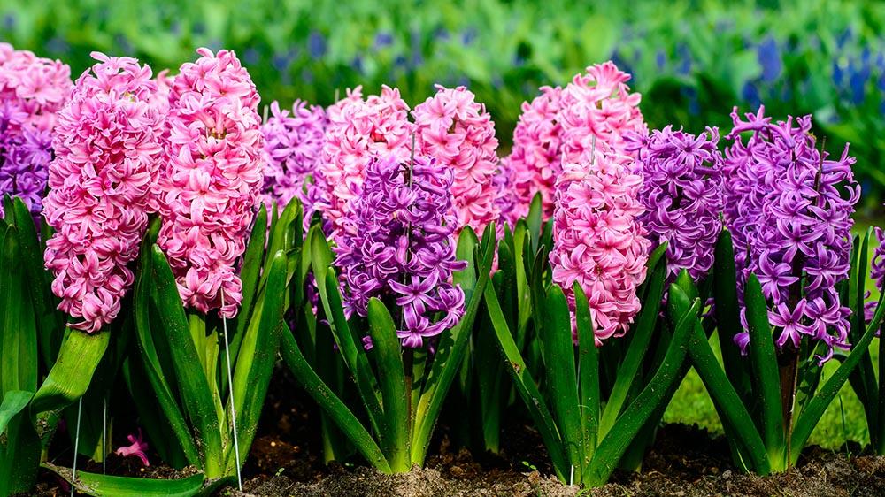 beautiful hyacinth flowers blooming in the spring time alsip nurseries