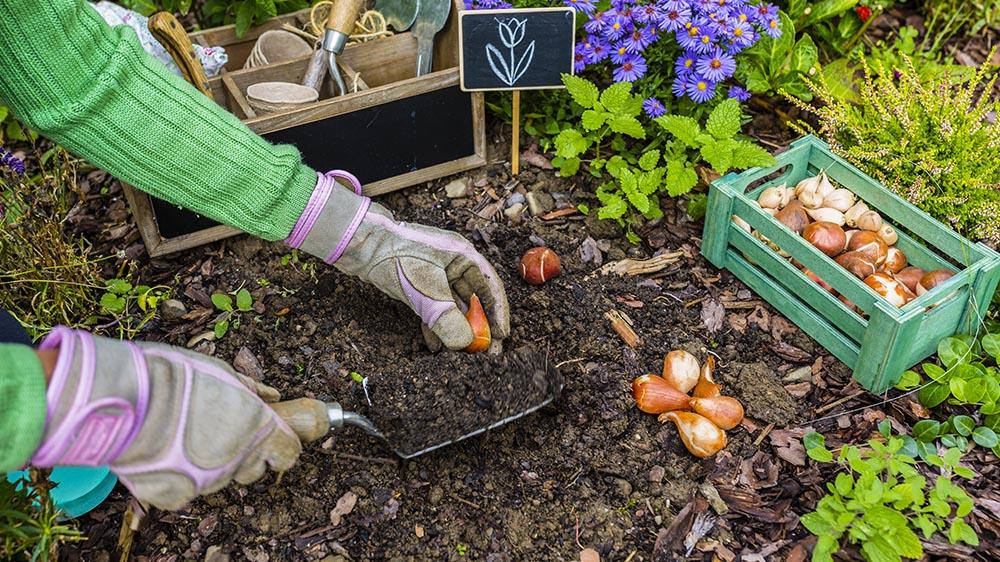 planting bulbs in the spring time garden alsip nurseries