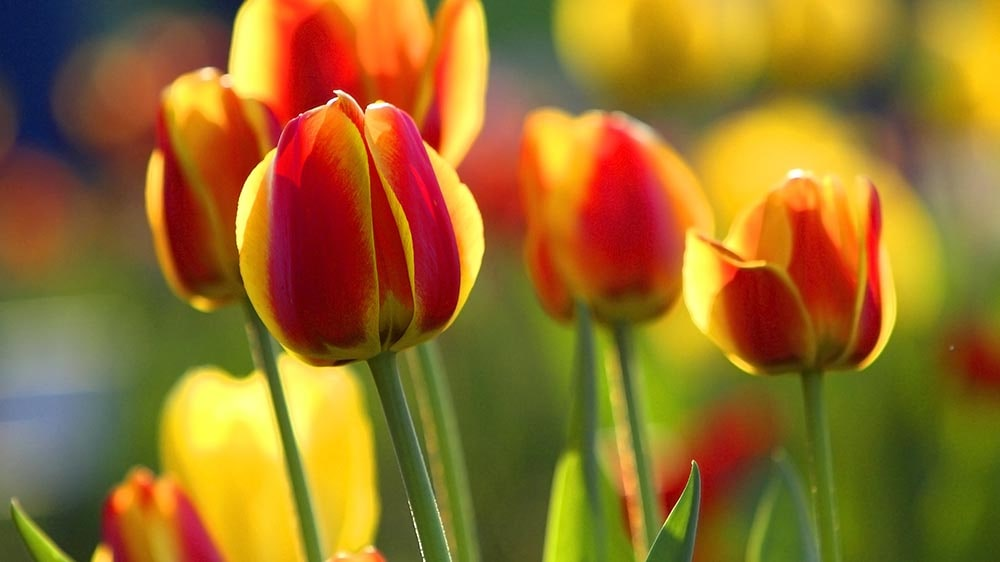 caring for tulip bulbs in the spring beautiful blooms alsip nurseries