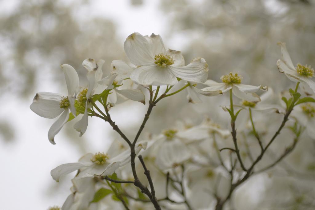 beautiful closeup of dogwood tree blooms alsip nurseries