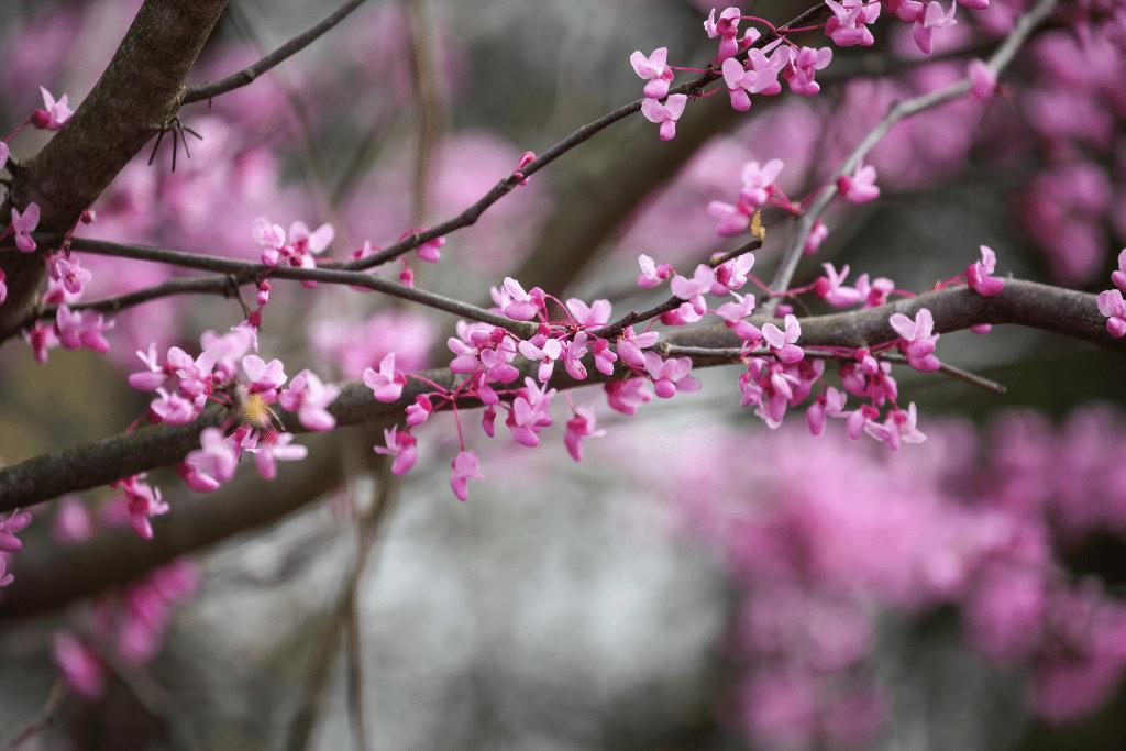 beautiful pink eastern red bud tree blooming in the spring alsip nurseries