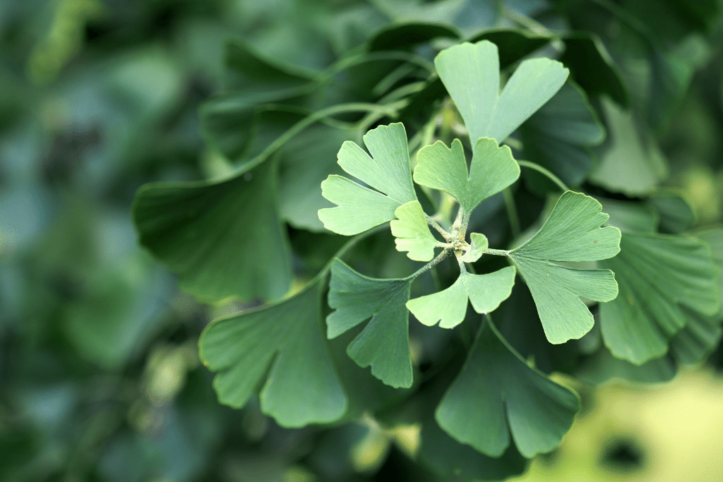 closup of green gingko blooms in the spring time alsip nurseries