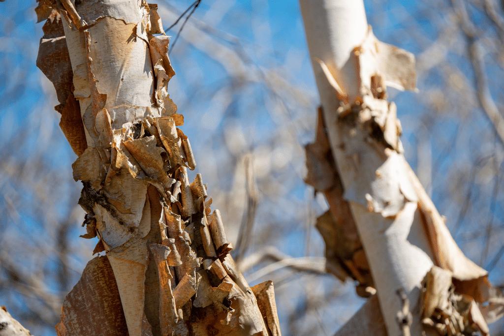 closeup of river birch tree peeling alsip nurseries