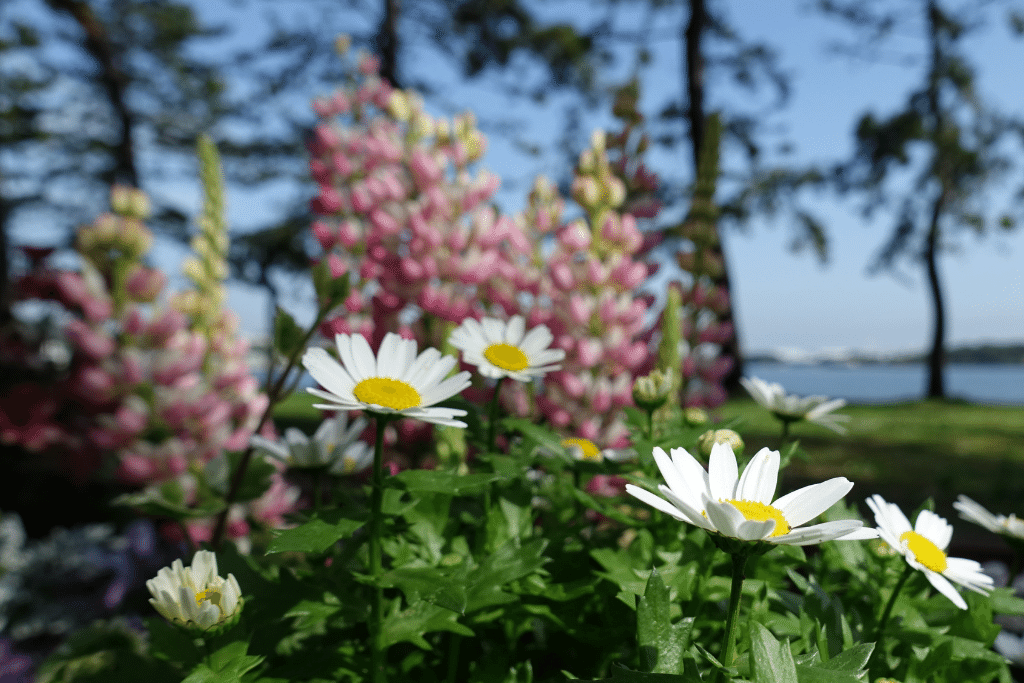 lupine and daises in the backyard during a summer day alsip nurseries