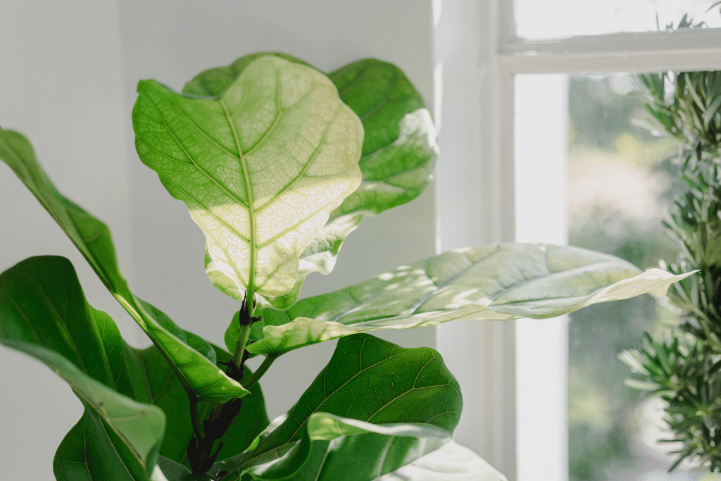 gorgeous fiddle leaf fig in a dimly lit window on a sunny day alsip nurseries