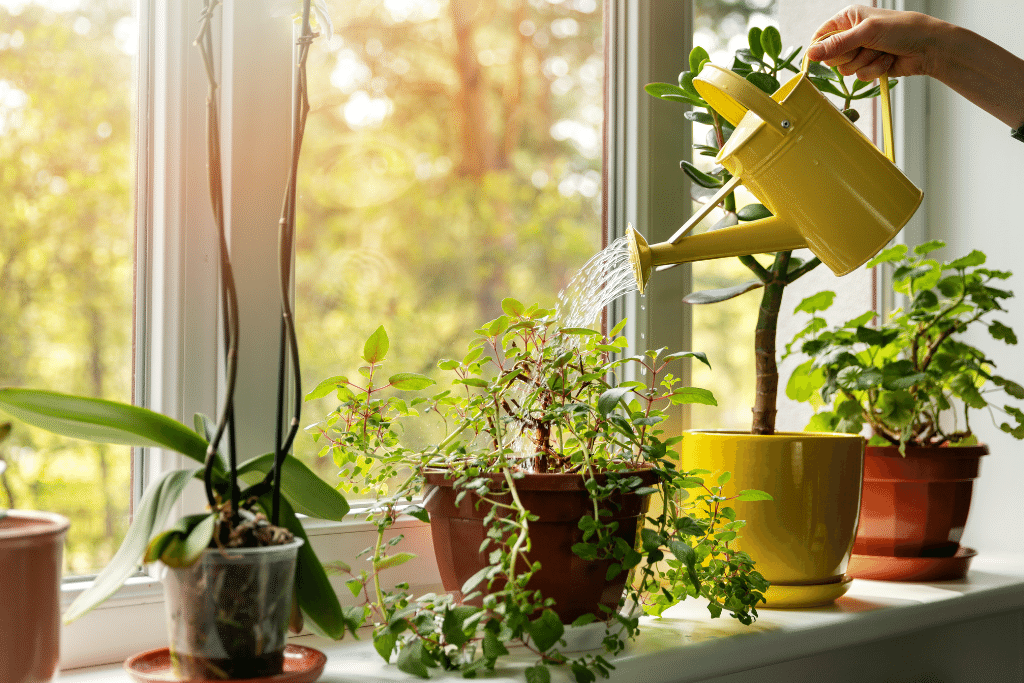watering houseplants that are in the window on a sunny day alsip nurseries