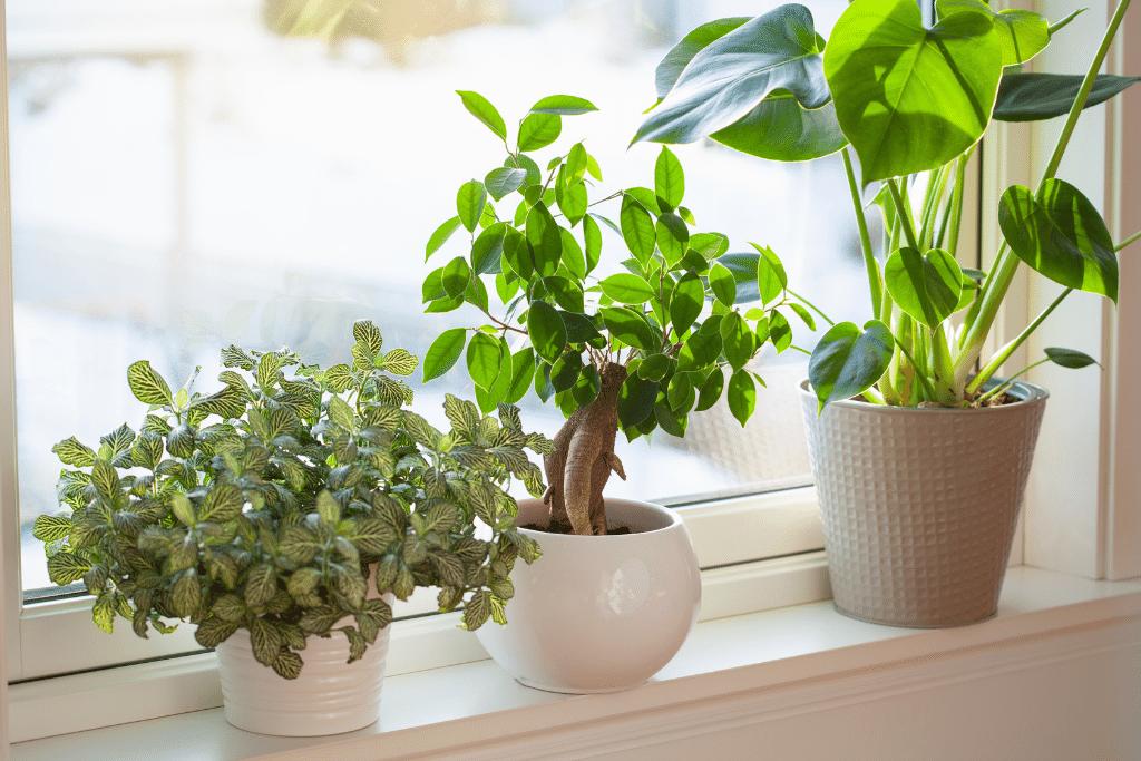 beautiful indoor plants growing nicely in a sunny window alsip nurseries