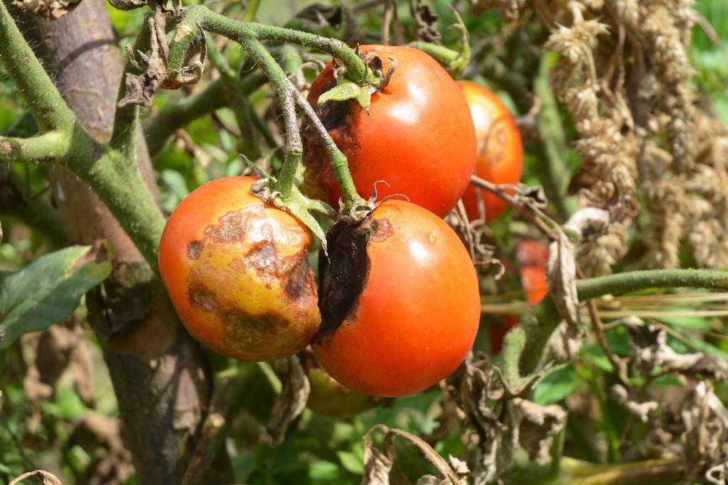 blight on a rotting tomato plant alsip nurseries