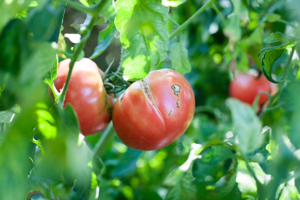 fruit cracks on a rotting tomato alsip nurseries