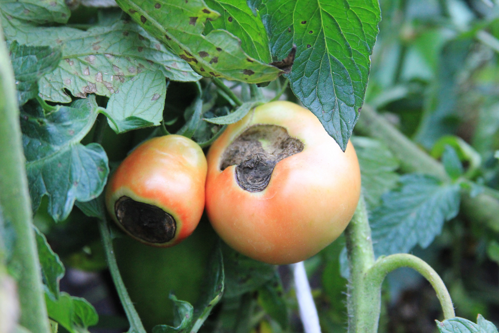 tomato blossom end rot Alsip nursery