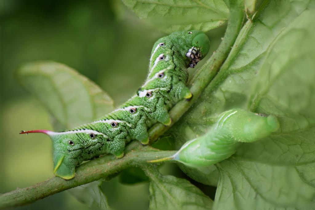 hornworm invading a tomato plant alsip nurseries