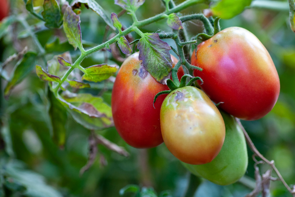 sun scald on a rotting tomato plant alsip nurseries