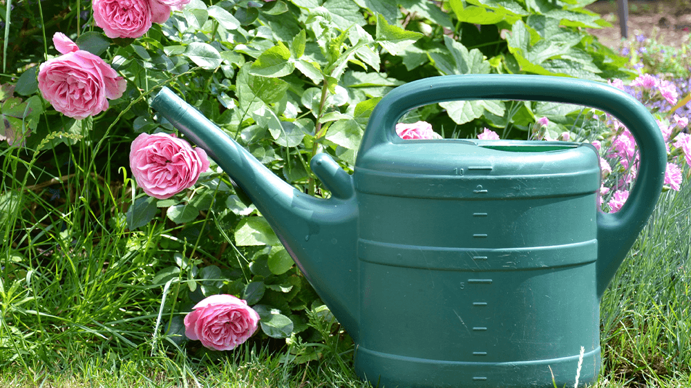watering can and roses Alsip nursery