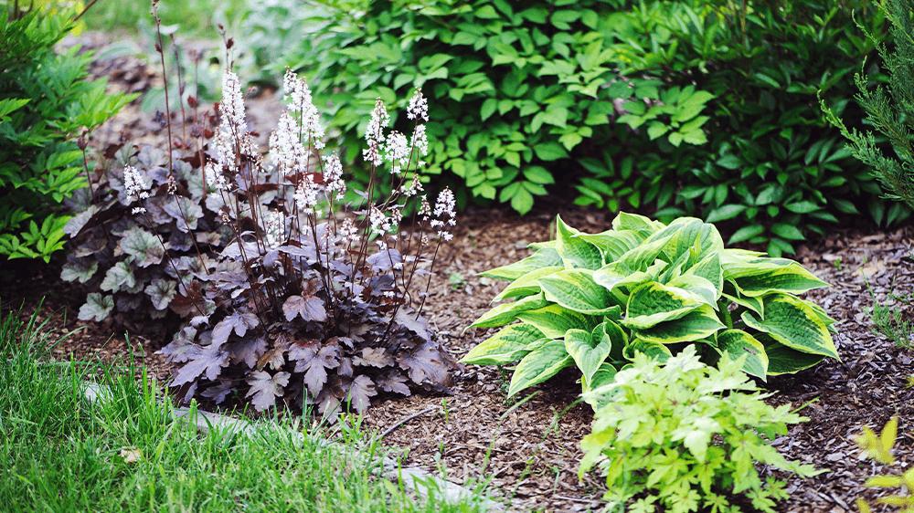 hosta and heuchera in garden Alsip nursery