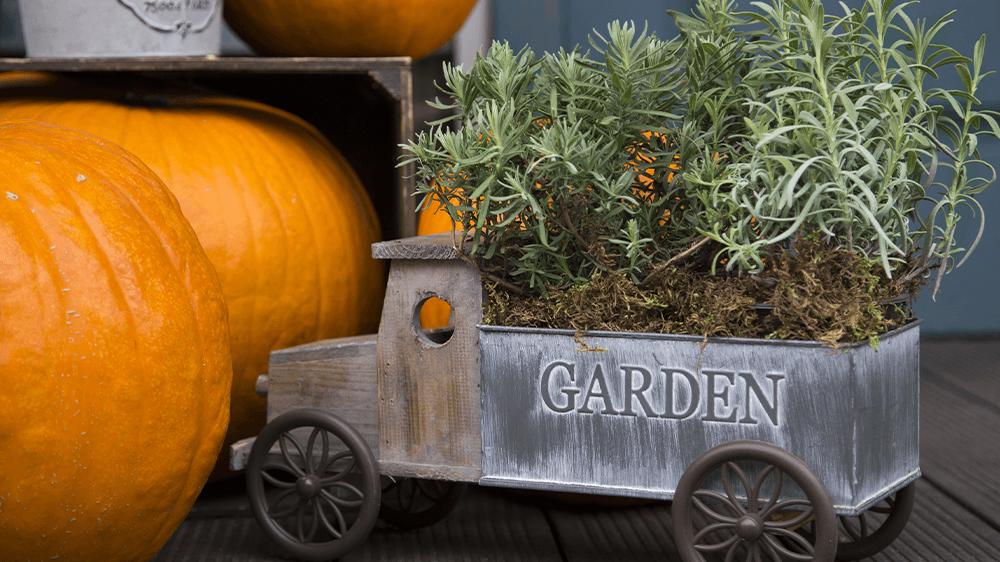 Alsip Nursery rosemary in truck planter