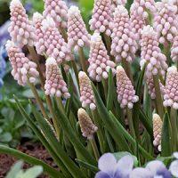 """""""Pink Sunrise"""" Muscari Grape Hyacinth"""